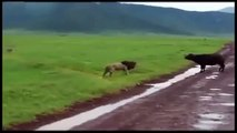 Animal Fights   Buffalo vs Lion dailymotion   Wild Animal Fights 2015