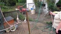 Glaines N'co à Cormont : les oies aiment l'arrosoir