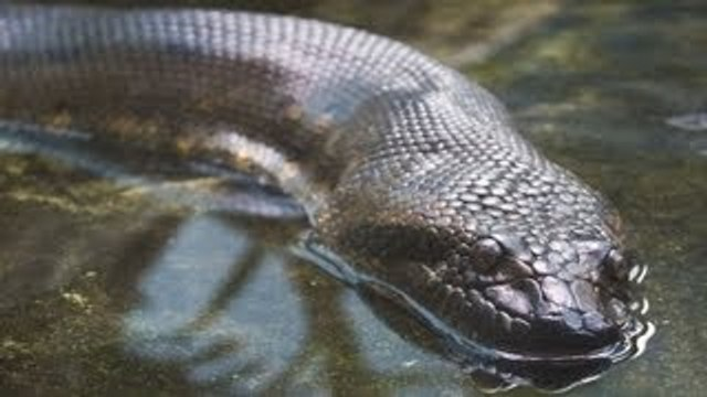 Fun Anaconda Facts | Pet Snakes