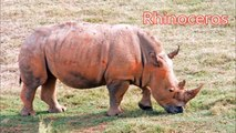 Rhinoceros  Animals for Children Kids Videos Kindergarten Preschool Learning Toddlers Sounds Songs