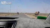 Camels on the Road...