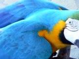 ルリコンゴウインコはガラナが大好き!Arara gosta muito de Guarana Antarctica !
