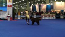 Dog Dancing Canine Freestyle competition Great Dane, Honey