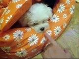 Ney, aventurillas de un bichón maltés, adventures of maltese puppy