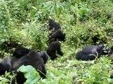 Susa group of mountain gorillas, Rwanda