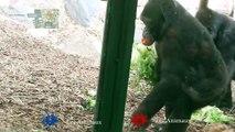 LES ANIMAUX - Gorille qui fait les courses manque plus qu'un caddie - ZOO ST MARTIN LA PLAINE