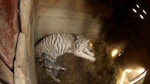 White tiger gave birth to three cubs in Tbilisi Zoo / Tbilisis zooparkshi vefxvma 3 bokveri dabada
