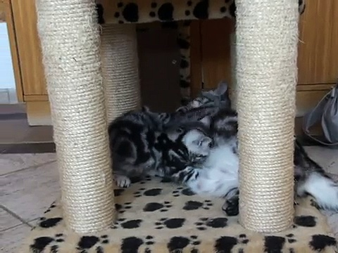 Black silver tabby british cats.mpg