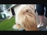 "GoPro HD: Dog Cam ( ""Zeus Cam"")"