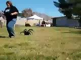L'araignée la plus grosse au monde
