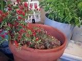 Garden update 10 29 10, Roasting Chestnuts fail, Brewing Hard Cyder