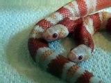 Une couleuvre tachetée albinos...à deux têtes