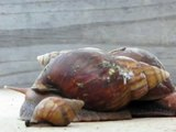 Giant African Snails Moving Slowly