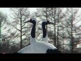 Japanes Cranes and Sea Eagles in Hokkaido - Japan
