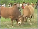 Daring Fight of cow   Dangerous Fighting in two cows full hd fight