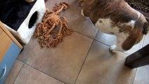 onze 2 engelse bulldoggen heerlijk aan het spelen