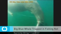 Big Blue Whale Trapped in Fishing Net