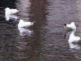 Animales, Gaviotas en libertad en Paris, Mouettes á Paris, Gulls of Paris