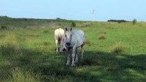 Beautiful white and brown Horses Caballo caballos