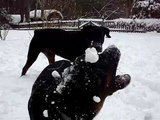 Rottie Snow Day - rottweiler puppy playing in snow