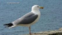 gaviota patiamarilla ( Larus cachinnans ) Yellow-legged Gull