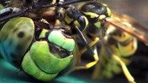 Sony HDR CX560 - Wespen im Blutrausch beim Zerlegen einer Libelle - Wasps vs. Dragonfly Close-Up
