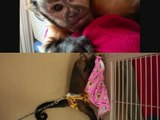 Capuchin Monkey Morning - 猿のケア毎日の朝