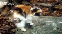 Hungry Fat Cat. Fluffy Cat Beautiful Lazy and Funny Fat Cat
