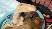 pomeranian puppy ポメラニアンの赤ちゃんpart5