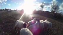 Fly au troupeau sur oies et brebis - janvier 2012