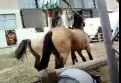 Spectacle équestre chevaux hongrois/istres 2014