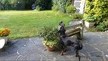 L'amitié d'une pie et d'un chien - Vidéo humour animaux