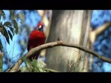 AUSTRALIA's WILD PARROTS & COCKATOOS - PBS SPECIAL - Part 2 of 2