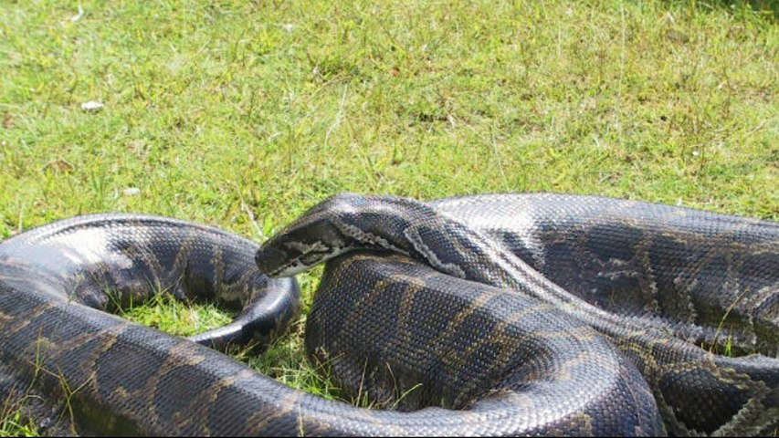 Biggest anaconda of the world found alive