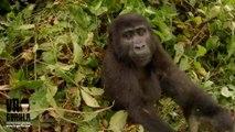 Un jeune gorille vole une camera et se filme en selfie... Adorable