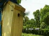 Mésanges bleues - nichoir - cris des oisillons