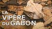 Interview : la vipère du Gabon championne du camouflage