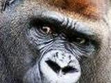 Gorillas.. Mountain Gorillas shot dead June 2007