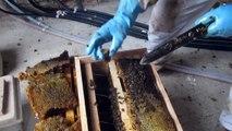 Sauvetage de l'essaim d'abeilles attaqué par les frelons