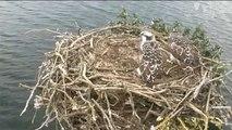 Manton Bay Ospreys - 07/13/13 Second fledgling returns to the nest