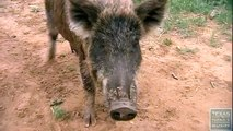 Hogs Gone Wild - Feral Hogs in Childress, Texas
