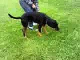 Rottweiler 8 months