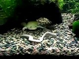 Xenopus eating a GIANT worm!