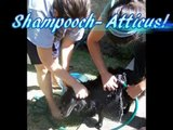 Atticus - Extreme Schipperke Makeover