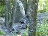 GRÄVLING  Badger  (Meles meles)   Klipp - 426