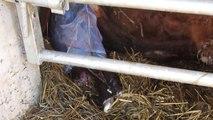 Vêlage de vache - naissance d'un veau