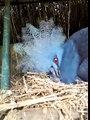 Pomba Goura com filhote no Criatório Vale Verde