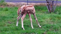 Cascadia Cyrus the Great, Caspian foal running and jumping
