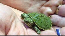 two-headed baby turtle: San Antonio Zoo's two-headed turtle get its own Facebook page