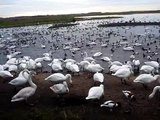 Whooper swans feeding at Martin Mere